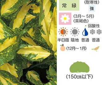 アオキ ミズキ科 アオキ属 日本産 常緑低木 シンボル(初志貫徹・若く美しく)... ガーデン植